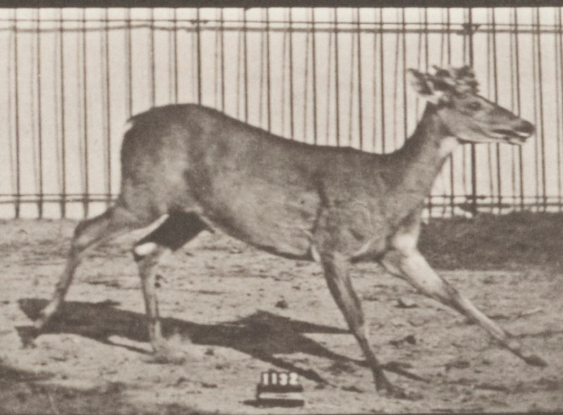 Virginia deer, buck, galloping