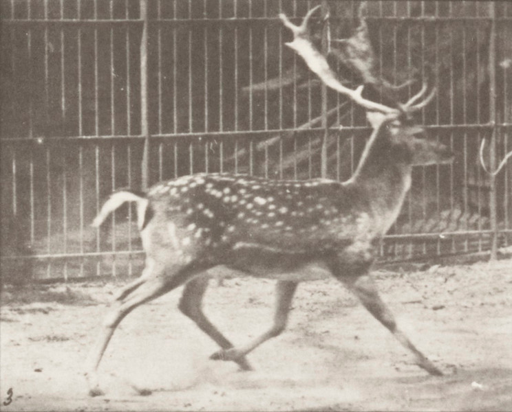 Fallow deer, buck, trotting, and galloping
