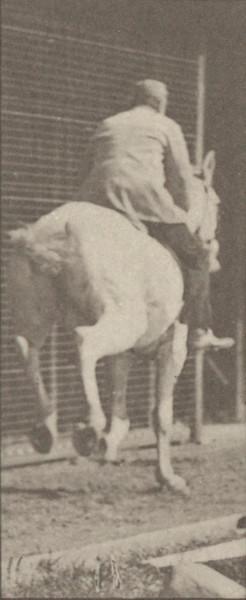 Horse Pandora galloping, saddled with rider