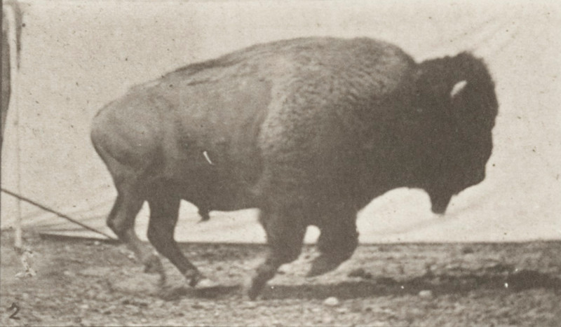 Buffalo galloping