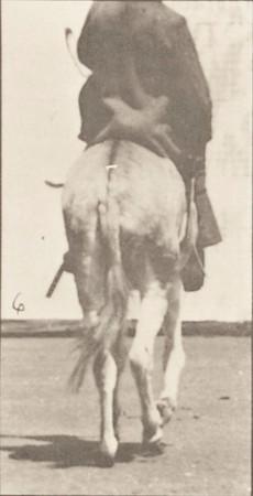 Horse Zoo ambling, irregular, saddled with rider