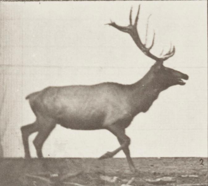 Elk trotting