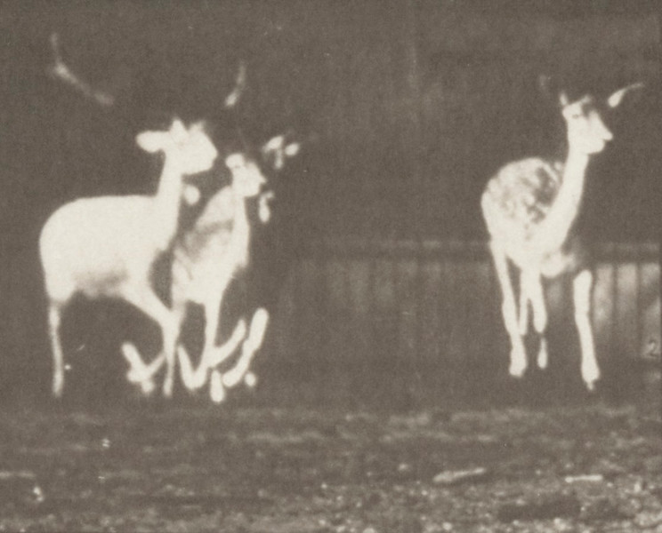 Fallow deer, buck and group of does, galloping