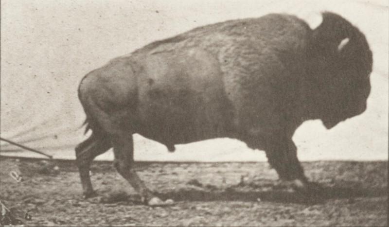 Buffalo galloping