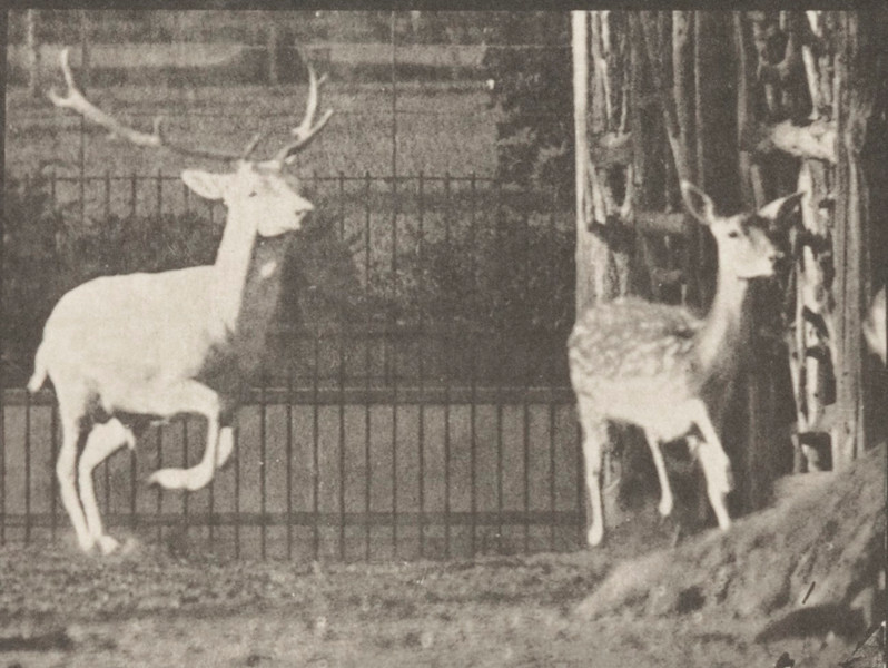 Fallow deer, buck and doe, galloping