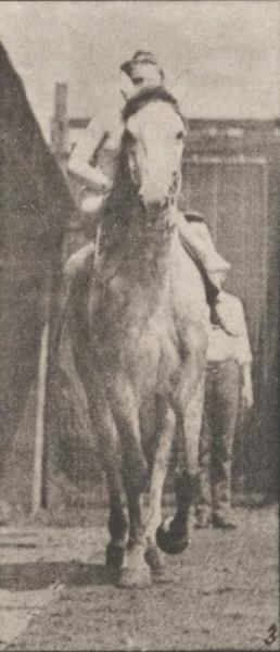 Horse Tom walking, saddled with nude female rider