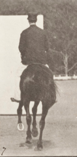 Horse Middleton cantering, saddled with rider