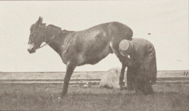 "Horse ""Denver"", refractory with trainer"