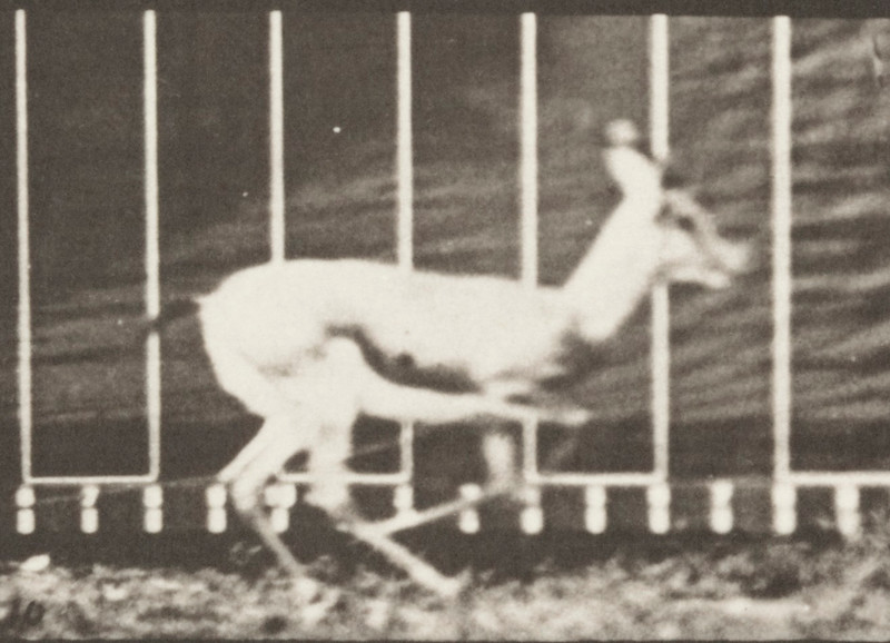 Antelope galloping