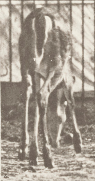 Virginia deer, buck, walking and started to a gallop