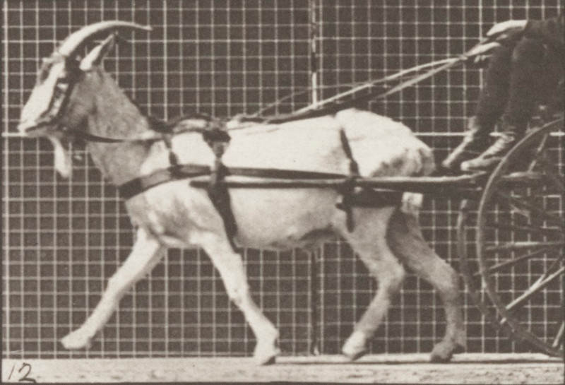 Goat trotting, harnessed to a sulky with driver