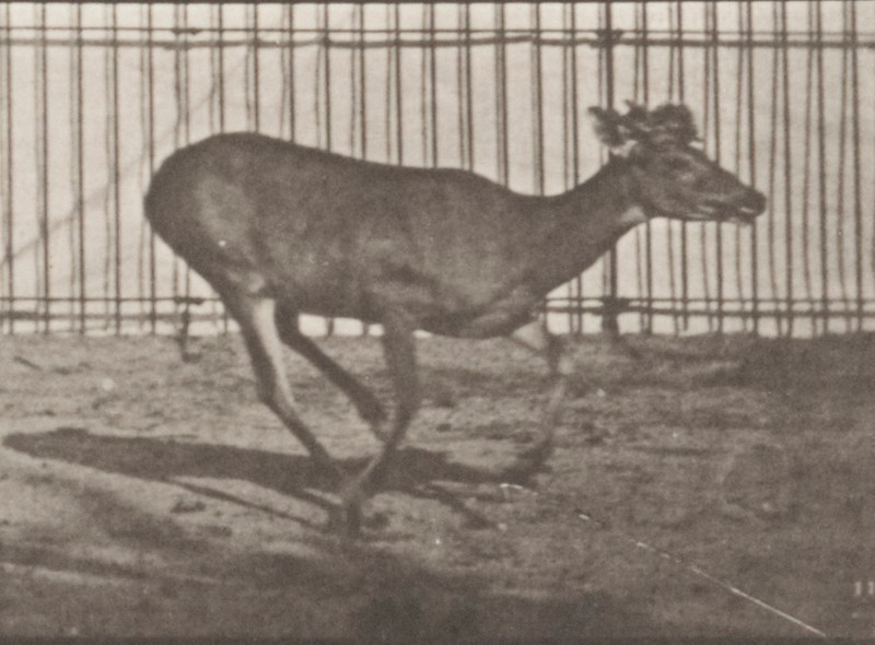Virginia deer, buck, galloping