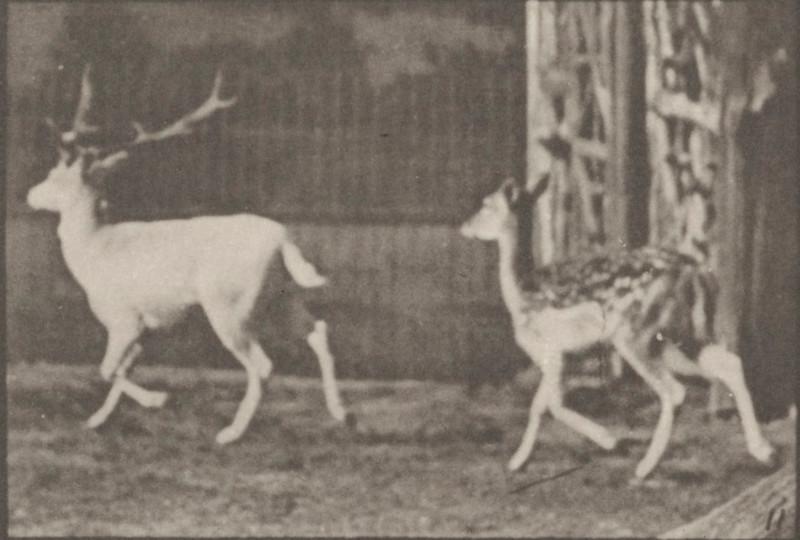 Fallow deer, buck and doe trotting