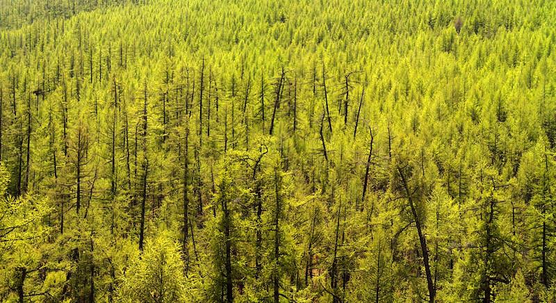 forêt de hovsgol