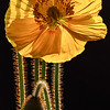 Backlit Yellow Poppy