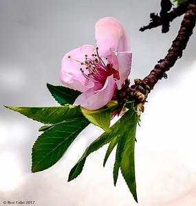 Cherry Blossom, #2