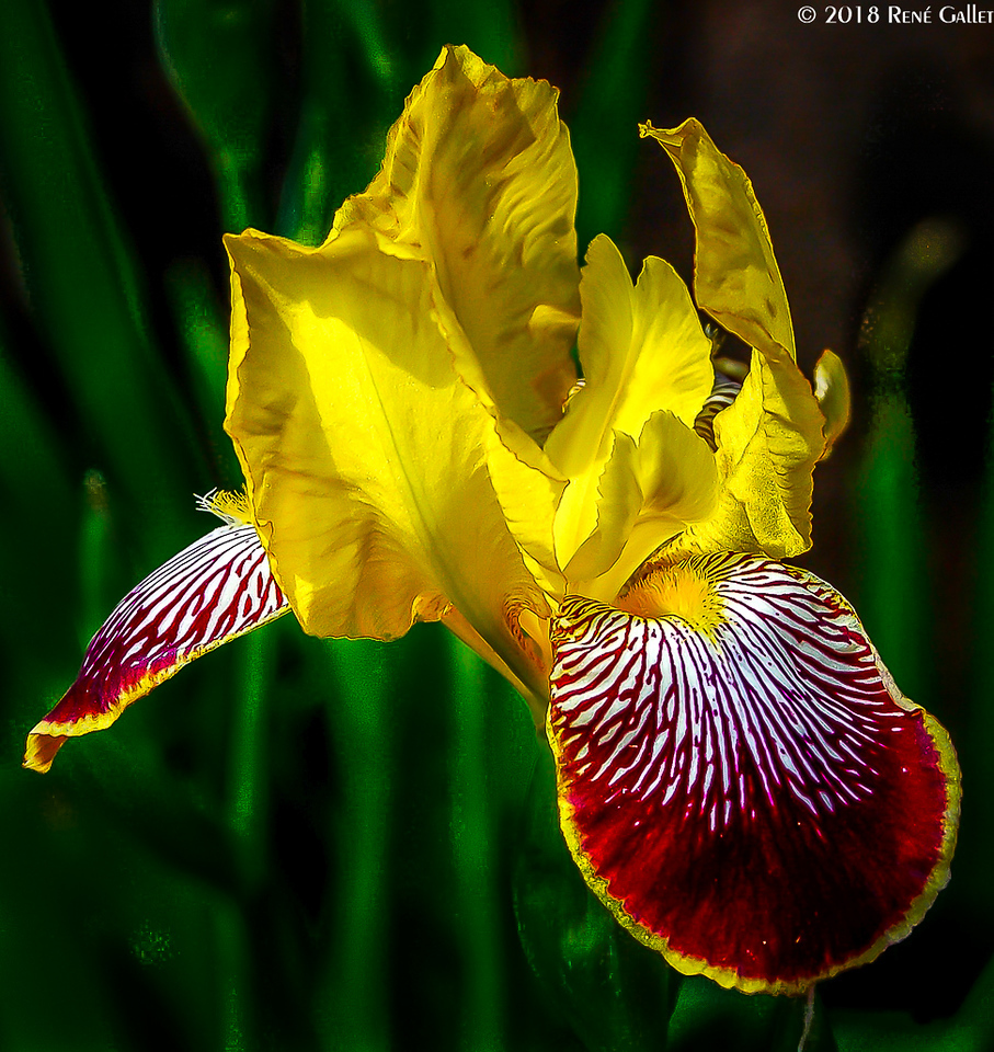 May Yellow Iris