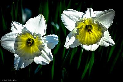 White daffodills