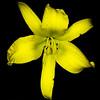 Yellow Daylily 2016
