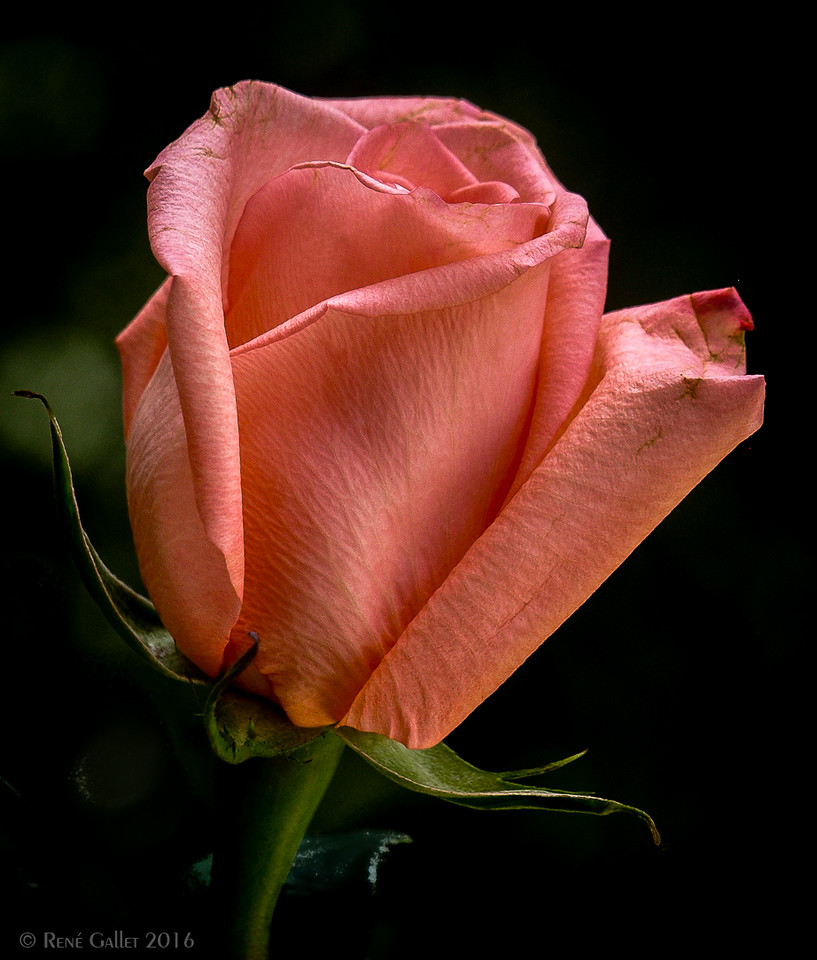 Marilyn's Rose