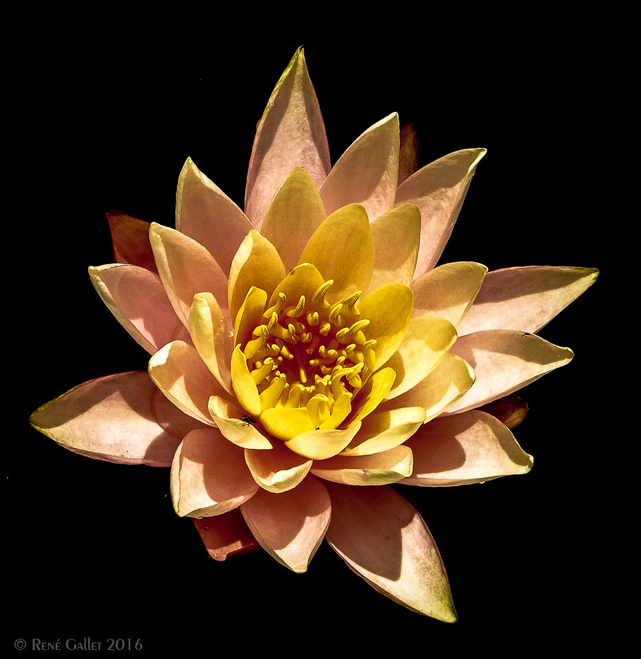 July Water Lily