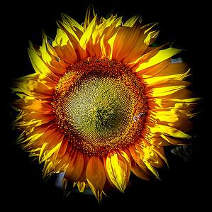 June Sun Flower
