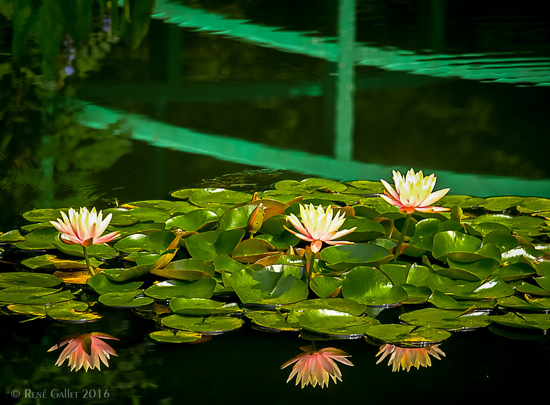 Lilies under the Bridge