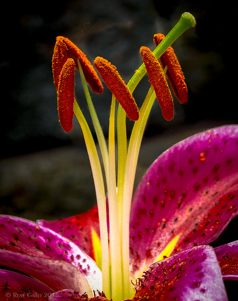 Heart of a Lily - July 2016