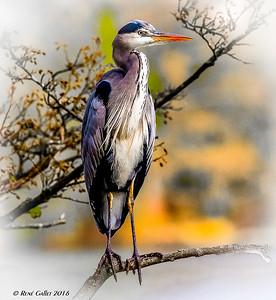Juvehile Egret