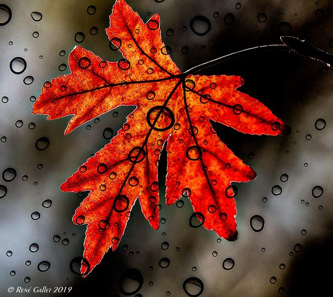 Red Leaf - wet Glass