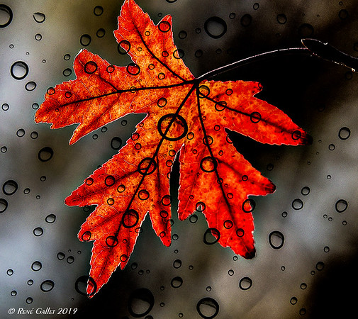 Red Leaf - wet Glass