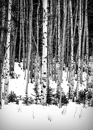 Aspens near St. Elmo, CO