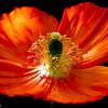 Poppy 3-17 - 004