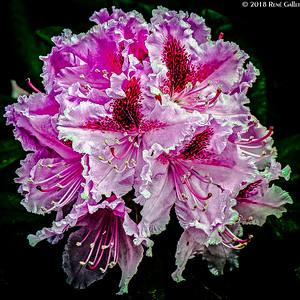 Hybred Pink Rododenrum 008