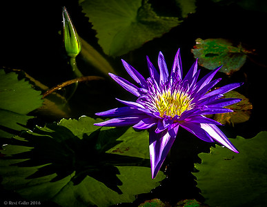 Purple LIly -Late Summer