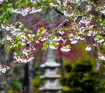 Cherry Blossom Time 2017