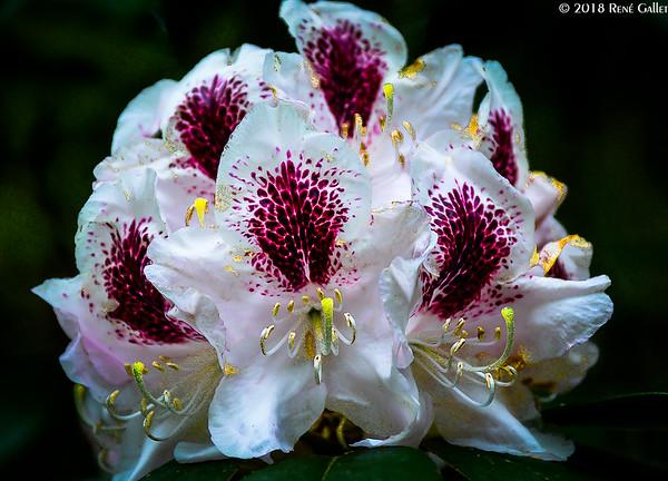 White Rododenrum 002
