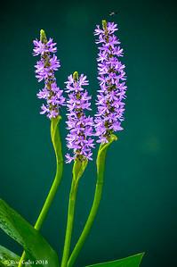 Hyacinth Trinity