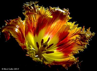 Ruffeled Tulip