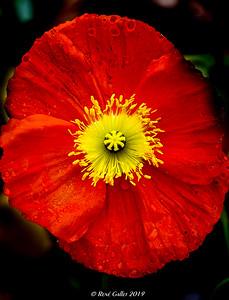 """Seasons"""" 1st Poppy"""