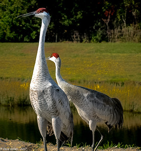 Mother & Daughter - Sand Hill Cranes