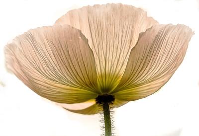 Transparent Poppy