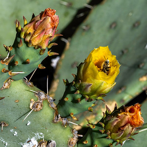 20200429-AD_cactus-flowers-bees-6696