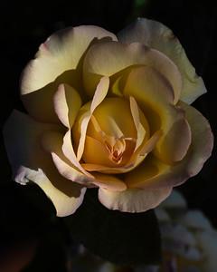 20200502-AD-home-peace-rose-garden-7815