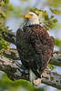 Bald Eagle - Cuyahoga Valley National Park <br /> First Place Award - Animals<br /> Cuyahoga Valley Photographic Society<br /> 2016 Photo Contest