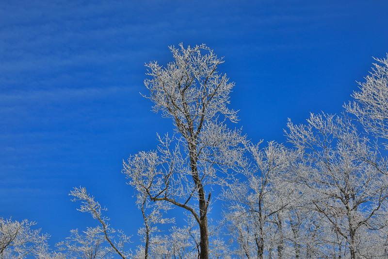 Frozen Winter Trees