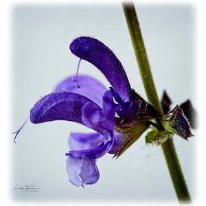 flower in violett...