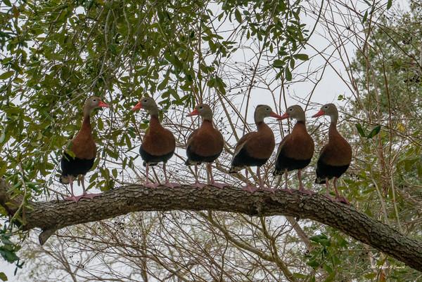 Ducks in trees