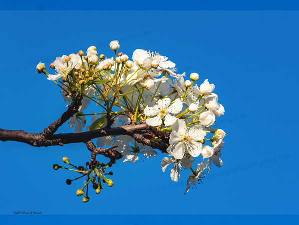Spring in Texas, pear blossoms