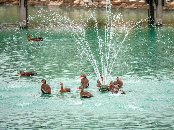 Black Whistler ducks enjoying a shower